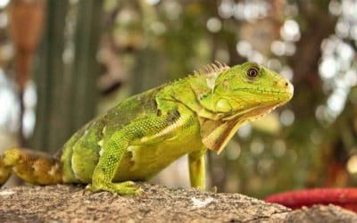 How to Get Rid of Iguanas in Florida