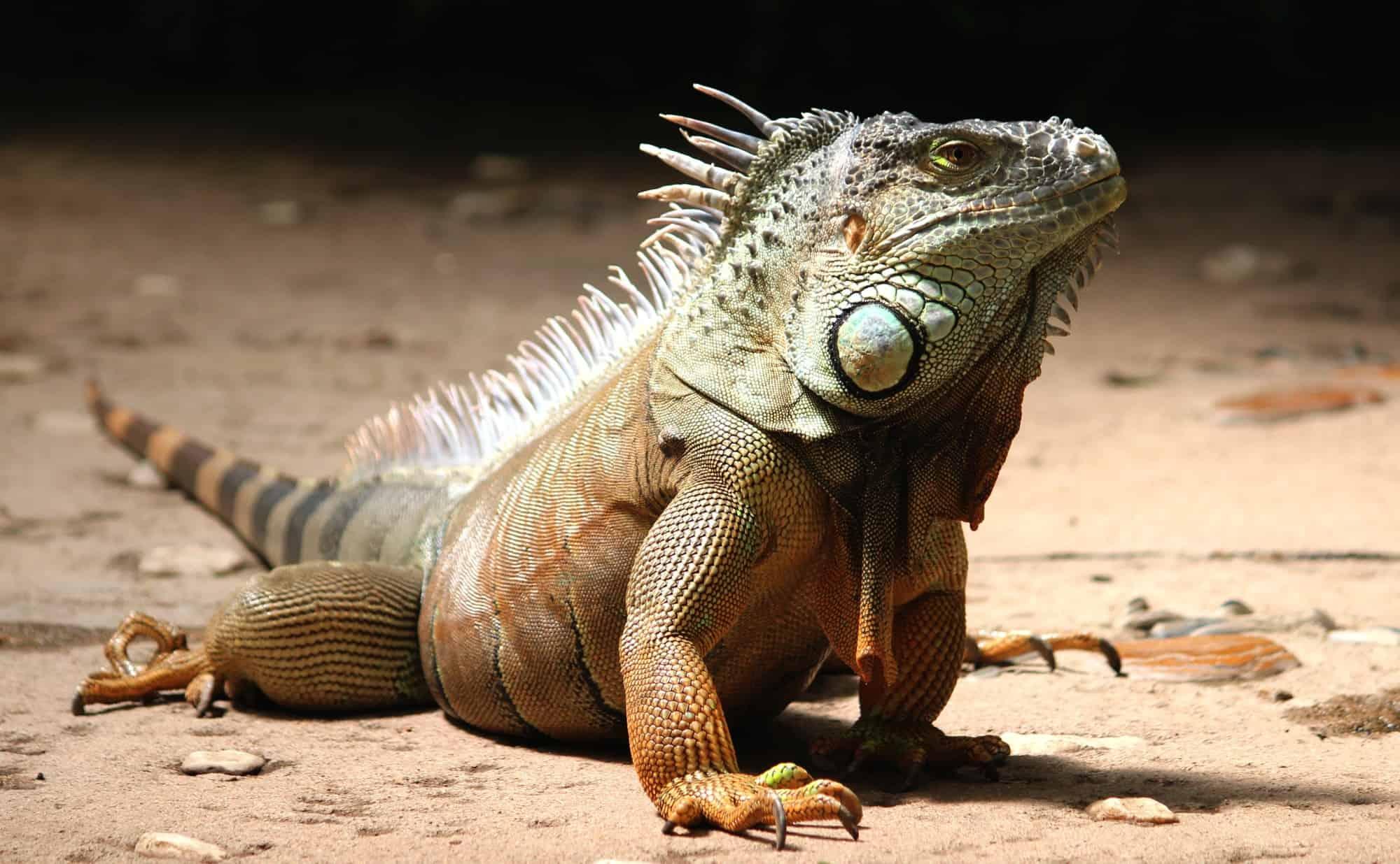 Iguana Control: What to do