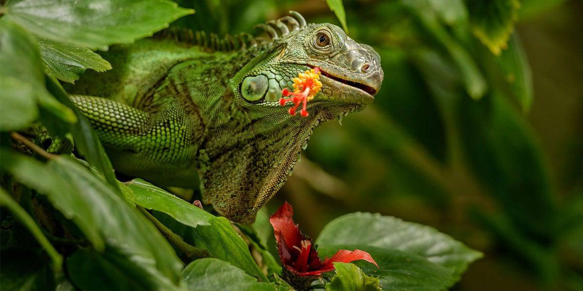 Green Iguana eating hibiscus