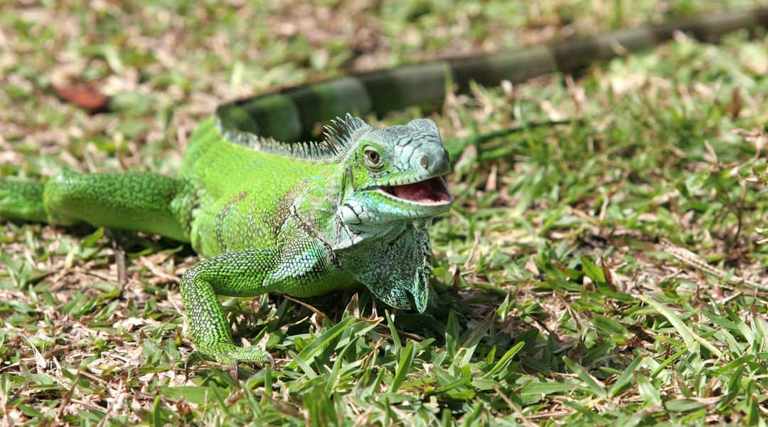 Iguana Pest Control: 10 Need to Know Facts About Iguanas