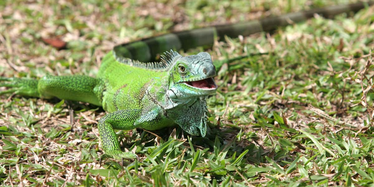 facts about iguanas