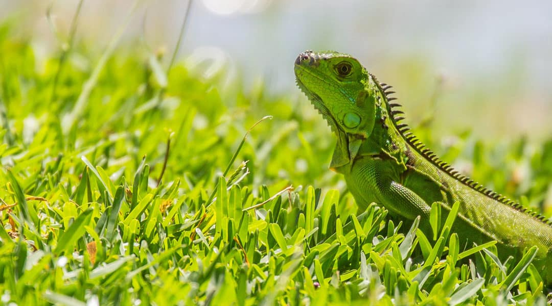 Expert Tips on How to Keep Green Iguanas Out of Your Yard