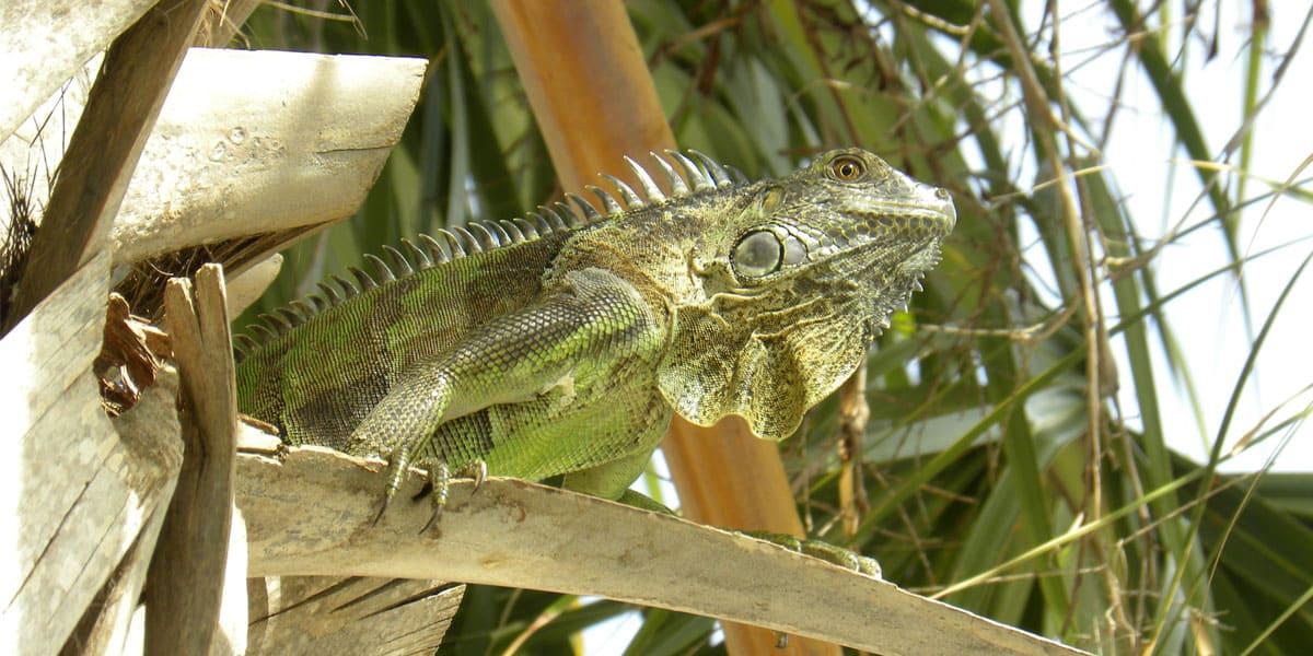 types of iguanas